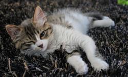Mouche, chat Angora turc