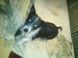Mouche, chien Basenji