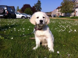 Mouchette, chien Golden Retriever