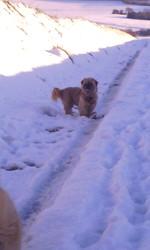 Moucho, chien Lhassa Apso