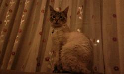Mouchou, chat Siamois