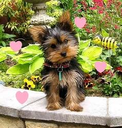Moucli, chien Yorkshire Terrier