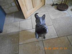 Mougie, chat Bleu russe