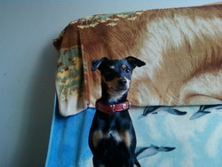 Mouky, chien Pinscher