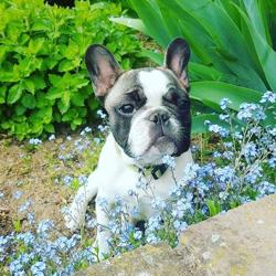 Mouky, chien Bouledogue français