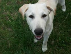 Mouky, chien Labrador Retriever