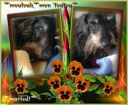 Moulouk, chien Teckel