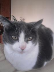 Moumoune, chat Européen