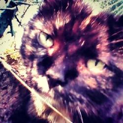 Moumousse, chat Européen