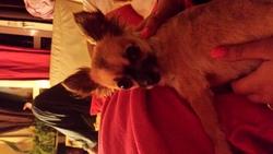 Moumousse, chien Chihuahua
