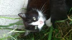 Mouna, chat Européen