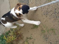 Mouna, chien Parson Russell Terrier