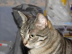 Mounette, chat Européen