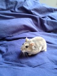 Mouniak, rongeur Hamster