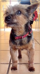 Mousse, chien Yorkshire Terrier
