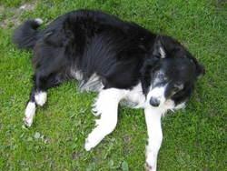 Mousse, chien Border Collie