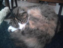 Mousse, chat Norvégien