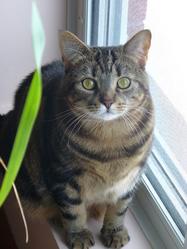 Mousseline, chat Européen