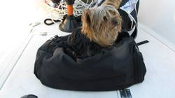 Mousseline, chien Yorkshire Terrier