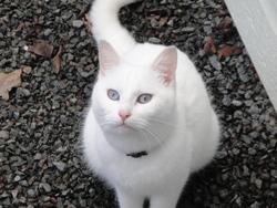 Moussline, chat Gouttière