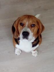 Moustache, chien Beagle