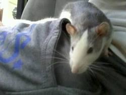 Moustache, rongeur Rat