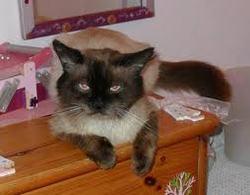 Moustache, chat Siamois
