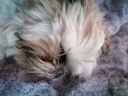 Moustick, chien Shih Tzu