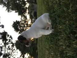 Moustik, chien Jack Russell Terrier