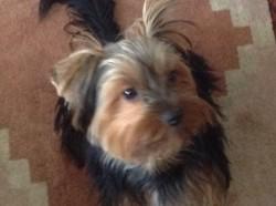 Moustik, chien Yorkshire Terrier