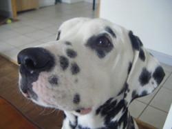 Moustique, chien Dalmatien