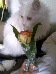 Moustique, chat Angora turc