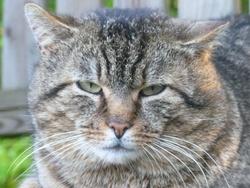 Moustique , chat Gouttière