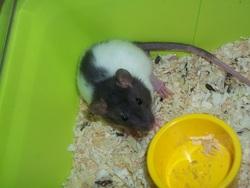 Moustique, rongeur Rat