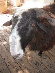 Mouton, autres