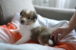 Mister Mouve Up, chien Berger des Shetland