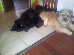 Mowgli Décédé, chien Berger des Pyrénées