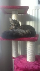 Mowgli, chat Norvégien