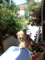 Mowgly, chien Berger des Pyrénées