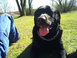 Moycan, chien Labrador Retriever