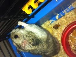 Moys, rongeur Hamster