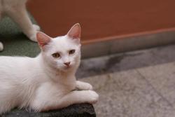 Moza, chat Angora turc