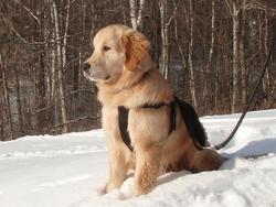 Mozart, chien Bouvier bernois