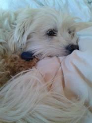 Mozart, chien Bichon maltais