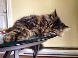 Mozart, chat Maine Coon