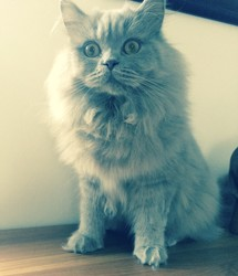 Mozart, chat British Longhair