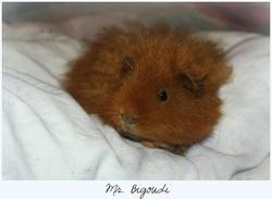 Mr Bigoudi, rongeur Cochon d'Inde