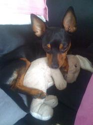 Mr Kiwi, chien Pinscher