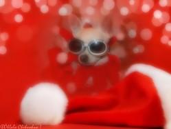 Mr Ruby , chien Chihuahua