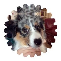 Muesli, chien Berger australien